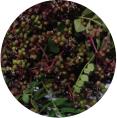 초피나무열매